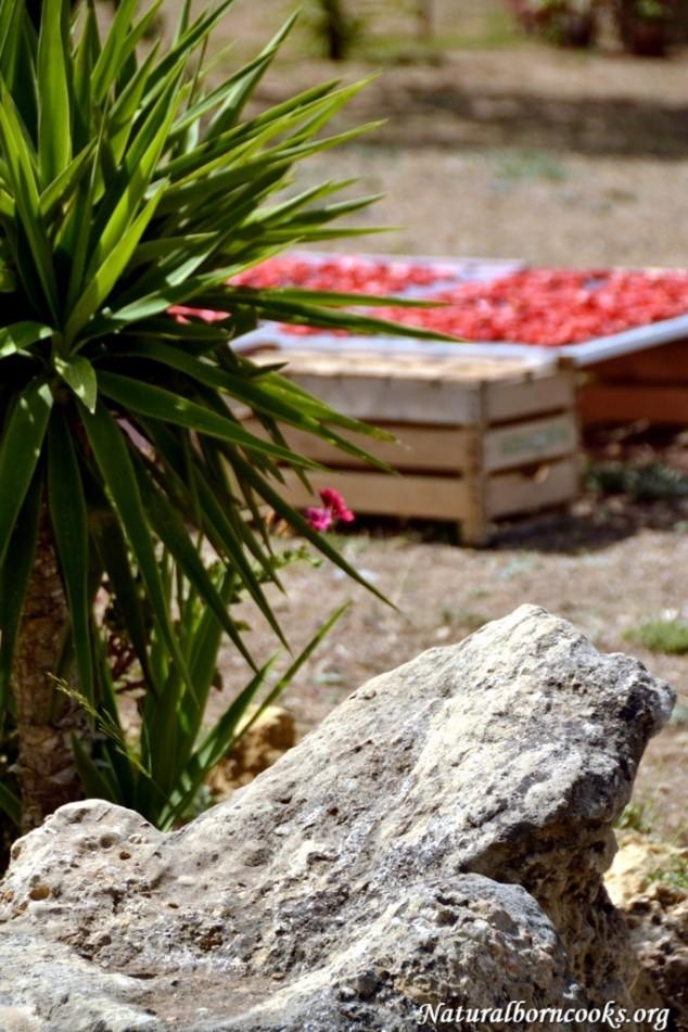 pomodori_secchi_sole_sicilia