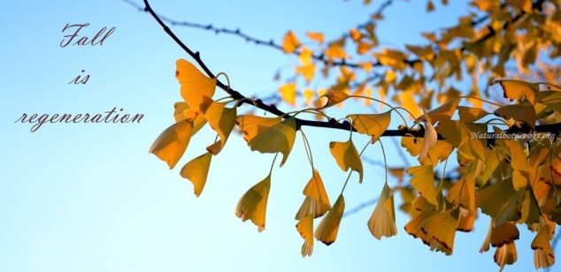 fall_is_regeneration_ginkgo_autunno2