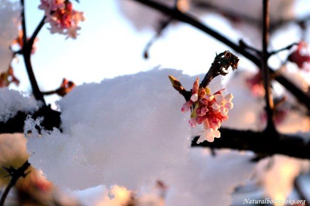 fiori_rosa_neve_coperti