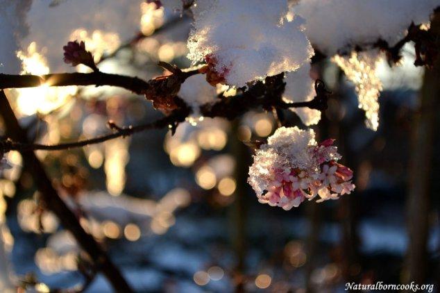 fiori_rosa_neve_ramo